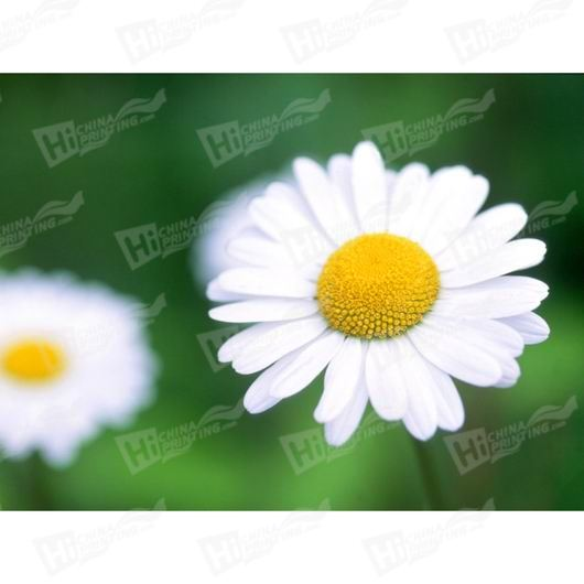 White Flower Canvas Printing